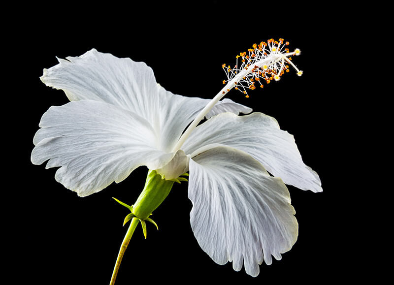 Hibiscus is a wonderful healing agent